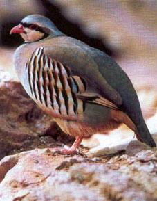 Куропатка как мы говорим, побольше голубя